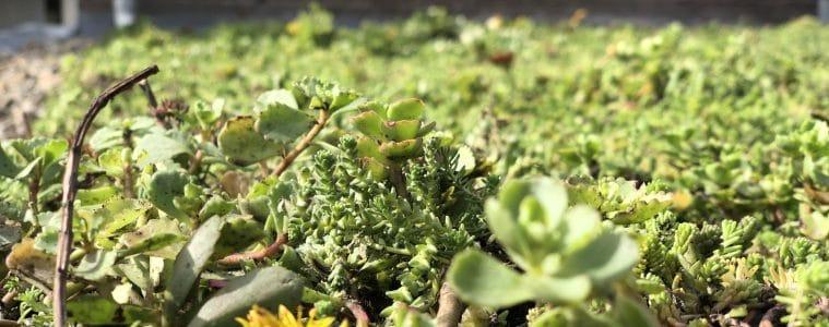 close up sedum met bloemetje